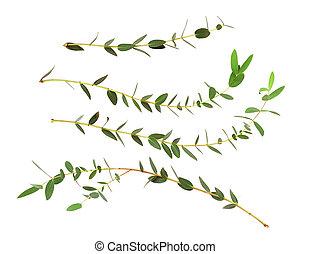 eucalyptus, feuilles, ensemble, vert