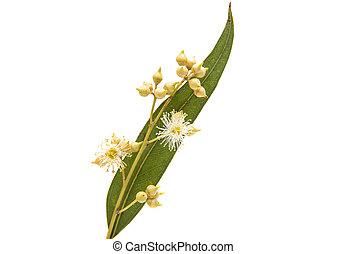 eucalyptus, feuilles, isolé