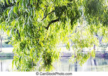 eucalyptus, feuilles, jardin