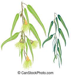 eucalyptus, feuilles, vert