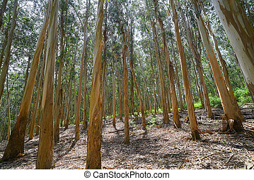 Eucalyptus forest in Galicia of Spain