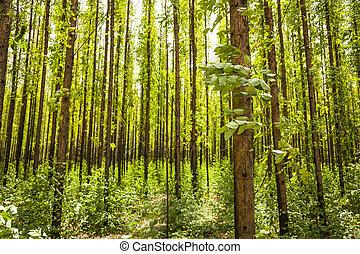 Eucalyptus forest - photo of an eucalyptus forest.