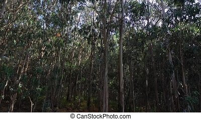 eucalyptus forest undergrowth close-up en Galicia Spain 4k video