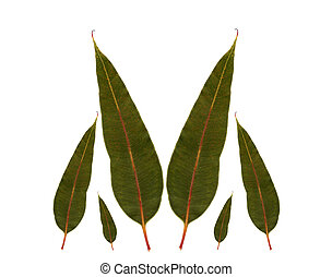 gum leaf border from eucalyptus phytocarpa summer red australian gum tree