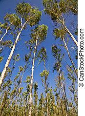 eucalyptus trees on the background of blue sky