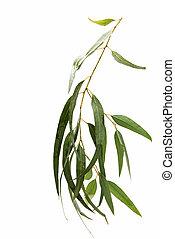 eucalyptus, isolé