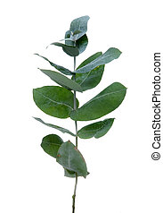 Eucalyptus leaves isolated on white background.