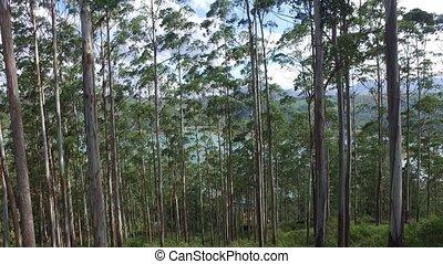 eucalyptus or gum-tree in sri lanka forest - nature, flora...