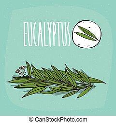 eucalyptus, plante, ensemble, aromate, feuilles, isolé