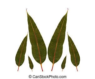 eucalyptus, plante, feuilles, gencive, australien, indigène
