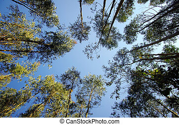 Point of view to the top of a forest of eucalyptus trees