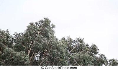 eucalyptus tree in a storm