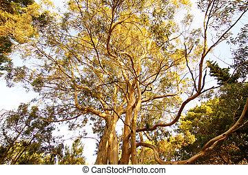 Eucalyptus Tree in Mar de las Pampas