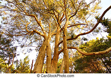 A Eucalyptus tree in Mar de las Pampas, Argentina.