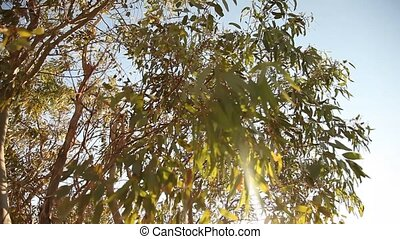 Eucalyptus tree - video footage of a Eucalyptus tree