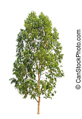 Eucalyptus tree, tropical tree in the northeast of Thailand ...