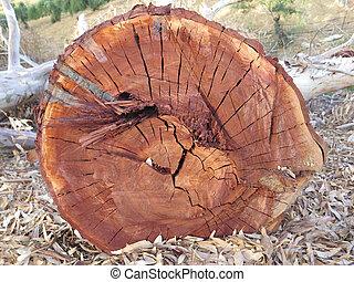 Eucalyptus tree trunk