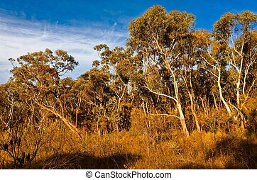 Eucalyptus trees in the Australian bush