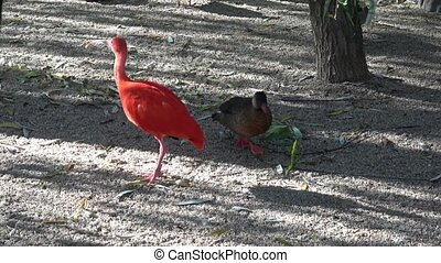 Eudocimus ruber. Bright red bird Scarlet Ibis.