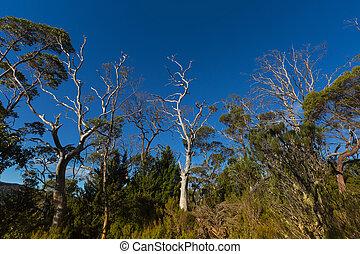 eukaliptusz, magas, ausztrália, útvonal, sok, bitófák, gumi, sóvárog, tasmania, erdő, overland, felnövés, bölcső, mentén, hegy