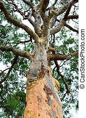 eukalyptus, bäume