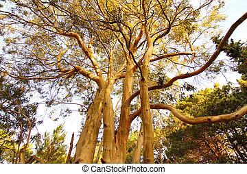 eukalyptus- baum, in, beschädigen, de, las, pampas