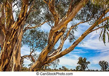 eukalyptus, bei, narrandera, neues süd-wales, australia