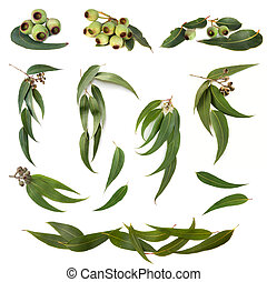 eukalyptus, blätter, sammlung