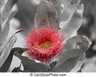 eukalyptus, macrocarpa, westliches australien