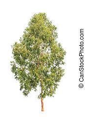 eukalyptus, nordost, träd, isol, tropisk tree, thailand