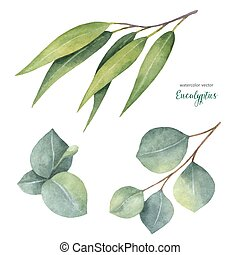 eukalyptus, vektor, aquarell, blätter, gemalt, satz übergeben, branches.