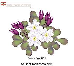 Eunomia Oppositifolia, One of Popular Flowers in Lebanon