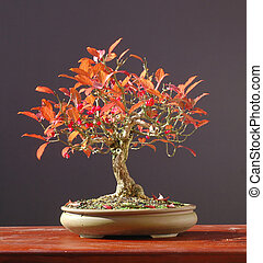 Euonymus bosnai in fall colors - European euonymus, Euonymus...