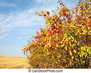 Euonymus europaeus - Ornamental shrub Spindle tree in the ...