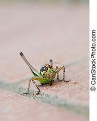 Eupholidoptera chabreri. Bush cricket, insect facing camera.