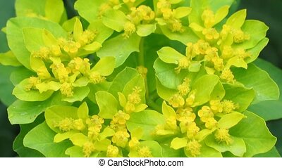 Euphorbia blossom close-up. Natural video with forest...