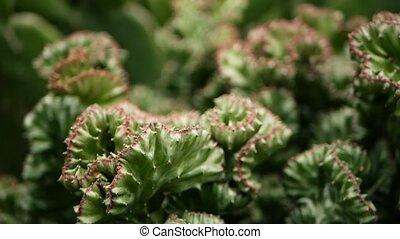Euphorbia crested evergreen desert plant cultivated as...