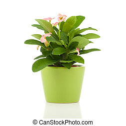 Euphorbia milii (crown of thorns), isolated on white background