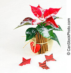 euphorbia, weihnachtsdeko