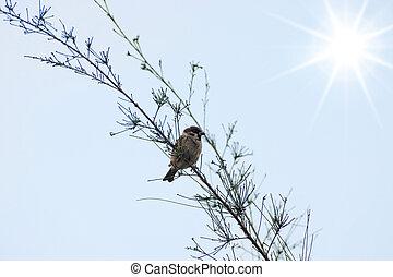 eurasiático, árbol, gorrión, en, el, rama, con, sun.
