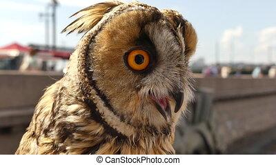 Eurasian baby owl sunny day city - Close up beautiful owl...
