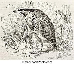Eurasian Bittern old illustration (Botaurus stellaris). ...