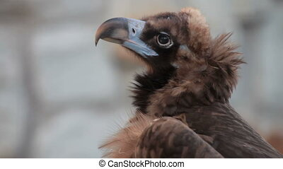 Black Vulture - Eurasian Black Vulture
