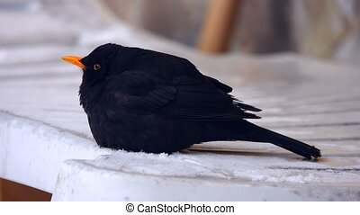 Eurasian Blackbird (Turdus merula) sits on the snow in a big...