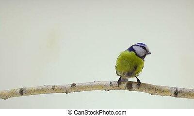 Eurasian Blue Tit (Cyanistes caeruleus) isolations on a...