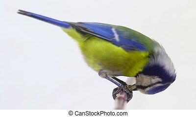 Eurasian Blue Tit (Cyanistes caeruleus) pecks to a sunflower...