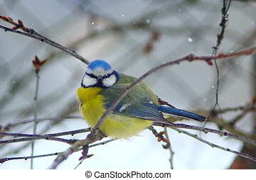 Eurasian blue tit on the branch