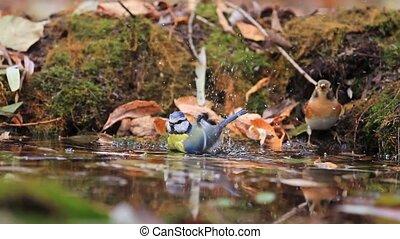 Eurasian blue tit on watering,swimming birds, birds on...