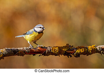 Eurasian blue tit sits on a branch in the forest