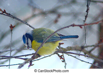 Eurasian blue tit sits on the branch